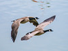 2 times. (Omygodtom) Tags: pair tiny small bird goose google wildlife wild 2 blue tags nikkor 7dwf existinglight eye exotic flickr flying nikon70300mmvrlens digital detail d7100 dof contrast joggers golden diamond