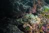 Master of Camoflauge (RoamingTogether) Tags: diving florida floridakeys ikelite ikeliteds51 johnpennekamp keylargo molassesreef nikon nikon181053556 nikond300 pennekampstatepark scorpaenaplumieri spottedscorpionfish