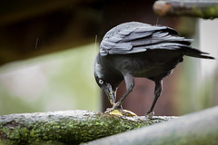 Feeding (Future-Echoes) Tags: 4star 2018 bird bokeh colchesterzoo depthoffield dof eye feeding food jackdaw zoo