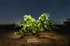 El origen del vino (NOCTOGRAFIA - Gabriel Glez.) Tags: gabrielglez noctografia wwwnoctografiacom cepa vino wine uva grape nightphotography viña enologia