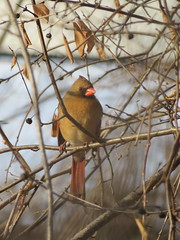 IMG_5358 (stevefenech) Tags: canada ontario stephen steve fenech fennock birds bird cardinal