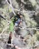 Elegant Trogon rear view (KevinKSmith) Tags: eleganttrogon trogonelegans greenvalley arizona unitedstates us