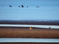 A Day At The Beach... (Céanndhubahn) Tags: crows seals beach cat sea sand blue