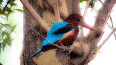 Dreamy (Jashaswi Senapati) Tags: bird canon canonpowershot kingfisher nature