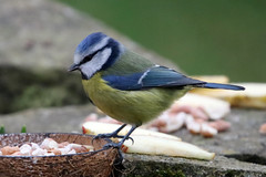 Blue Tit (Karen Roe) Tags: rspbbiggardenbirdwatch2018 annual yearly rspb big garden birdwatch burystedmunds suffolk county town england britain uk unitedkingdom greatbritain gb canoneos760d canon 760d 150600mm sigma lens zoom telephoto wildlife january peaceful quiet tranquil inside outside winter weather season camera photography photograph photographer picture image snap shot photo karenroe female flickr royal society protection birds member
