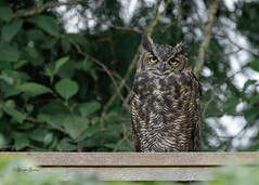 Great Horned Owl - Backyard (Photos_By George) Tags: backyard owls bird owl greathornedowl canon7dmkll