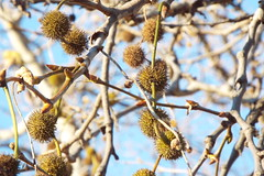 Pods (Kelson) Tags: hike marsh madronamarsh torrance nature southerncalifornia california southbay trees plants seedpods