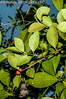 2017-02-03 TEC-3298 Eugenia cf. ibarrae - E.P. Mallory (B Mlry) Tags: 2017 2°3°leafveinsimmersedunderneath tec belize belizedistrict belizezoo coriaceousleaves eugeniaibarrae eugeniasp flora idd leavesopposite leafstructure myrtaceae margin simpleleaf tbz transitionforestlongtrail tropicaleducationcenter axillaryfruit crosssection developingfruit flattenedtwigorstem foliage fruit fruitsurface getidconfirm globosefruit habitat insitu leavesglabrous maturefruit pellucudpunctations persistantcalyx redfruit reddishgreenfruit revolutemargin seasonallywetswampforest stem stemcolor tallos tanorgoldenstem twigsterete woody democracia