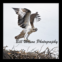 Flight Training (wildlifephotonj) Tags: ospreys ospreyflight osprey fishhawk hawk hawks wildlifephotographynj naturephotographynj raptor raptors wildlifephotography wildlife nature naturephotography wildlifephotos naturephotos natureprints birds bird