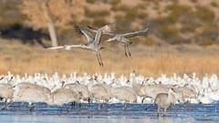 Sandhill Crane (Grus canadensis) (Tony Varela Photography) Tags: antigonecanadensis crane photographertonyvarela sacr sandhillcrane