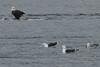 IMG_3137crop (neatnessdotcom) Tags: bald eagles hudson river bay winter birds prey peekskill ny westchester new york canon ef 100400mm f4556l is usm telephoto zoom lens eos rebel t2i 550d