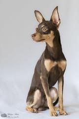 Nestor à 11 mois (Philippe Bélaz) Tags: nestor pragois ratierdeprague animal animaux animauxdecompagnie chien famille portraitsanimalier studio lumières naturelles