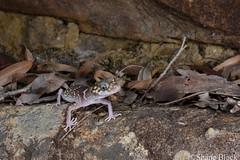 Thick-tailed Gecko (Underwoodisaurus milii) (shaneblackfnq) Tags: thicktailed gecko underwoodisaurus milii shaneblack lizard reptile heathcote sandstone sydney nsw new south wales australia