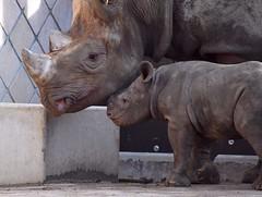 DSC_0081b (Peter Nugteren) Tags: zwarteneushoorn blijdorp rhino neushoorn black rhinoceros zoo blackrhinoceros