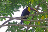 Yellow Throated Toucan_IMG_7024 (bud_marschner) Tags: costarica yellowthroatedtoucan toucan