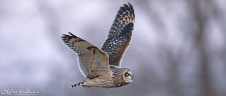 Close Encounters of the Short-Eared Owl Kind (ISO 10,000)