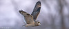 Close Encounters of the Short-Eared Owl Kind (ISO 10,000) (Mitch Vanbeekum Photography) Tags: shortearedowl flying flight inflight fly closeup mercercounty short ear eared owl mitchvanbeekum mitchvanbeekumcom canon14teleconvertermkiii canonef500mmf4lisiiusm canoneos1dx asioflammeus chmitch