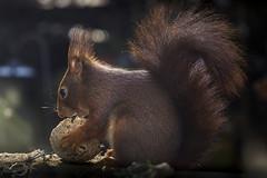 Eichhörnchen | Sciurus vulgaris | Red squirrel (*Photofreaks*) Tags: eichhörnchen sciurusvulgaris redsquirrel wildlife essen germany deutschland nordrheinwestfalen nrw northrhinewestphalia tiere wild adengs wwwphotofreakseu schuir