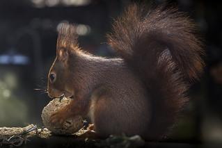 Eichhörnchen | Sciurus vulgaris | Red squirrel