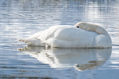 BHP08036 (GabriolaBill) Tags: swan swans bird birds nelder pond gabriola island gabriolaisland bc british columbia canada salish sea salishsea nature wildlife birdlife water sony a7r2 a7rii a7rm2 a7rmii 100400mm gm gmaster