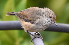 20180218 Brown Thornbill 5 - Kings Meadows (tassie_birds_beasts_and_bugs) Tags: thornbill brown nature backyard curious feathers detailed friendly tasmania subtle