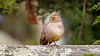 California Towhee (Bob Gunderson) Tags: birds california californiatowhee fortmason melozonecrissalis northerncalifornia sanfrancisco sparrowsjuncostowhees towhees