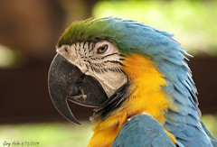 Blue-And-Gold Macaws ( Blue- And- Yellow Maccaws) (Gary Helm) Tags: blueandgoldmacaws bird wildlife nature gatorland fly flight blue gold yellow kissimmee florida archives photograph image ghelm4747 helm garyhelm