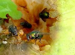 Fallobstinneres (michaelschneider17) Tags: natur insekten macro fliegen