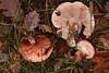 Hygrophorus russula (chug14) Tags: champignon pilze mushroom fungus fungi hygrophoraceae hygrophorerussule scarlet vinassier tricholomarussula limaciumrussula gymnopusrussulus agaricusrussula hygrophorusrussula unlimitedphotos