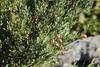 Rote Beeren an einem Rutenstrauch (Osyris sp.); Luz (Lagos), Algarve (33) (Chironius) Tags: luz algarve portugal frucht fruit frutta owoc fruta фрукты frukt meyve buah rot kerneudikotyledonen sandelholzartige santalales