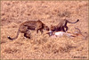 Cheetah Relocates Kill (maguire33@verizon.net) Tags: botswana mombo cheetah cub game impala wildlife