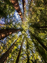 New Land - Santa Cruz, CA (Ian P. Miller Photography) Tags: california santacruz lines tree redwoods