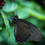 Unidentified species of Swallowtail butterfly thumbnail