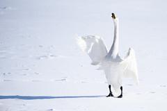 Swans (kat-taka) Tags: ã¬ãã bird snow white winter swan nature