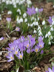Early Spring Day (valerie C bayley) Tags: dorothyclivegardens staffordshire gardens plants spring iphone nature sky flowers blossom closeup