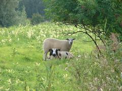 Schwarzes Schaf mit Weißer Weste (achatphoenix) Tags: schaf sheep får mouton schaap oldambt nl houwingaham