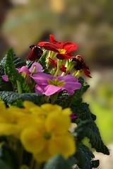 Primevères du jardin (GerardMarsol) Tags: france feuilles fleur primevères jaunes rouge rose