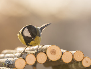 great tit standing on round wooden sticks