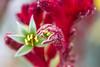 Kangaroo Paw (Jill Clardy) Tags: red plant flower flowering bud stamen macro kangaroo paw anigozanthos flavidus 201802224b4a8570 365the2018edition 3652018 day53365 22feb18