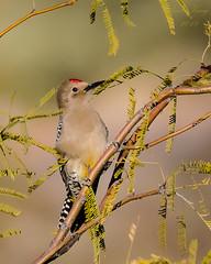 Gila Woodpecker II (dbking2162) Tags: gilawoodpeckerbirdsbirdnaturenational geographic wildlife trees outside outdoor arizona portrait animal