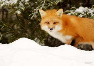 Renard roux - Fox