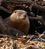 Groundhog Day... (Slow Turning) Tags: marmotamonax woodchuck whistlepig rodent emerging burrow winter southernontario canada groundhog