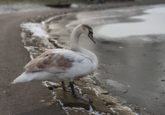 cold swan (paul hitchmough photography 2) Tags: swan frozenlake cold seftonpark nature paulhitchmoughphotography nikond800 nikon50mm niftyfifty 50mm wildlife uk liverpool water bird rock lake waterfowl animal