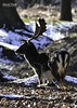 Fallow deer buck at Dunham Massey (David R Hart) Tags: sigma150600mmf563dgoshsmc nikond7200 nationaltrust dunhammassey cheshire england fallowdeerstag wildlife davidhart naturemasterclass
