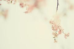淡いHARUIRO (ryo_ro) Tags: a7 ilce7 sony sonnar 85mm f28 contax zeiss cherry blossom spring