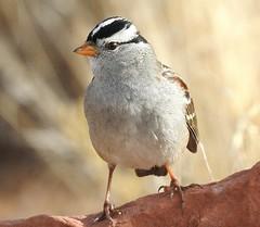 White-crowned Sparrow. Male #4 (beautyinature4me) Tags: bird avian whitecrownedsparrow male small blackwhitecap sedona arizona december2016