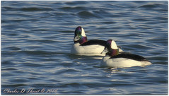Bufflehead x 2 (ctofcsco) Tags: 11000 20x 2x 7d 7dclassic 7dmark1 7dmarki 800mm canon colorado didnotfire digital ef2x ef2xii ef400mmf28liiusm20x eos eos7d esplora evaluative explore explored extender f110 flashoff iso640 manual photo pic pretty renown supertelephoto teleconverter telephoto unitedstates usa 2017 birds co geo:lat=3757331950 geo:lon=10609186510 geotagged homelake lake montevista nature northamerica photograph picture water wildlife ie