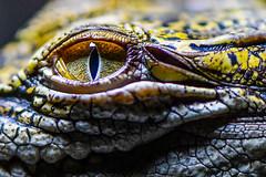 Eye to eye with a Crocodile (rrfaris1957) Tags: eye crocodile reptile overtheexcellence