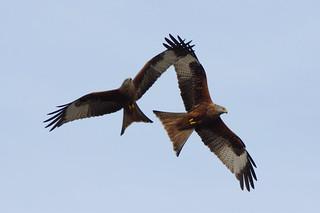 IMGP1860c  Red Kites, Stilton, February 2018
