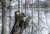 Der Rest (Gil V) Tags: wasser rhein hochwasser abholzung rhine water reflection reflektion tree